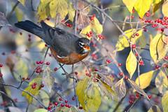 One Down (NaturalLight) Tags: robin feeding honeysuckle berries chisholmcreekpark wichita kansas