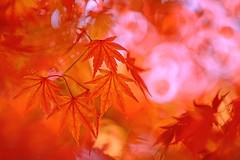 Red Maple (lfeng1014) Tags: redmaple japanesemaple autumncolours autumn fallcolours fallenleaves autumnleaves autumnmaple monochrome red leaves macro macrophotography canon5dmarkiii 70200mmf28lisii closeup bokeh light lifeng