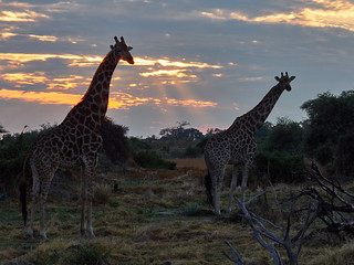 Two giraffes in the sunrise