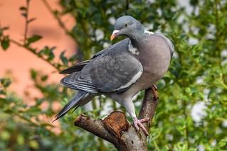 Pigeon in the Back Garden F00031 D210bob DSC_8380