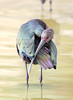 White-Faced Ibis (Ed Sivon) Tags: america canon nature lasvegas wildlife wild western southwest desert clarkcounty clark vegas bird henderson nevada nevadadesert preserve