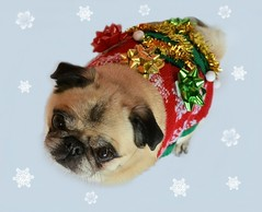 My Ugly Christmas Sweater (DaPuglet) Tags: pug pugs dog dogs pet pets sweater christmas xmas ugly uglychristmassweater decorations snowflakes winter december animal animals coth5 coth alittlebeauty sunrays5 fantasticnature
