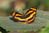 Common Jester - Symbrenthia lilaea (Roger Wasley) Tags: commonjester symbrenthialilaea mahananda wildlife sanctuary siliguri westbengal india asia butterfly butterflies explore