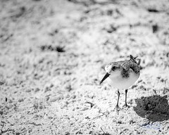 RomanLens-Birds around me (RoManLeNs) Tags: beach sand animals birds playa aves arena leisure traveling travel smallanimals nature naturaleza cancun romrom rom romanlens