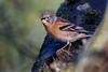 Brambling (Deadpanhammer) Tags: rspb thelodge canon7dmk2 ef400mmf56l bird nature brambling