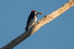 DSC_5977.jpg Acorn Woodpecker, Schwan Lake (ldjaffe) Tags: acornwoodpecker schwanlake
