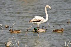(Enllasez - Enric LLaó) Tags: aves aus bird ocells pájaros deltadelebre deltadelebro delta rietvell