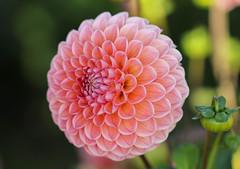 Dahlia (LuckyMeyer) Tags: dahlie flower fleur blume blüte pink rosa garden makro summer green