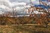 Cerezos (cruzjimnezgmez) Tags: cerezos arbol hojas ramas madera tronco tierra cielo nubes no personas aire libre hierba