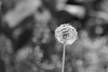Snowball Flower - Sometimes Summer looks like Winter (Sockenhummel) Tags: bundesplatz löwenzahn pustelblume butterblume sw schwarzweis blackwhite mono einfarbig uni monochrom blume flower summer sommer fuji xe1