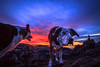 My photography assistants. (Cheryl ~) Tags: dogs sunset collies fetch