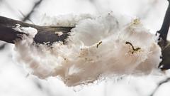 ijshaar hangend aan een tak in een boom vanochtend - Foto: Karin Broekhuijsen (RTV Drenthe - foto's) Tags: drenthe beuk beukenfamilie bodemvegetatie bomen boom bosgebied december doodhout ijs ijshaar landschap nachtvorst natuurlijkeontwikkeling natuurverschijnsel nederland paddenstoel tak vochtigbos vriezen weersverschijnsel winter zeldzaamnatuurverschijnsel zwamvlok schoonloo nl
