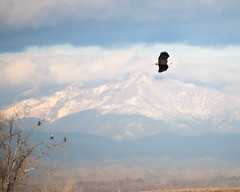 Eagle Flight (droy0521) Tags: flight rockymountainarsenal events baldeagle wildlife tree seasons cloud bird colorado outdoors adult juvenile fall places mountain denver unitedstates us