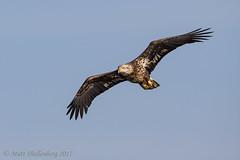 Immature Bald Eagle (Matt Shellenberg) Tags: bald eagle baldeagle riverlands migratory sanctuary riverlandsmigratorybirdsanctuary missouri