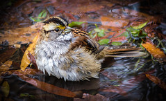 """Bathing Beauty"" White-throated Sparrow (Cathy Lorraine) Tags: whitethroatedsparrow bird sparrow centralpark newyorkcity newyork nature outdoors winter bathing puddle water leaves"