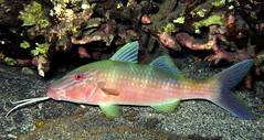 Parupeneus multifasciatus (jeanmarie.gradot) Tags: goatfish capucin rouget lagon bleu underwater nature poisson tropical reef récif corail g15 canon macro nuit nightlife