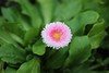 Pink daisy (ekaterina alexander) Tags: pink daisy flower yellow center bloom sussex england flowers ekaterina alexander nature photography pictures green leaf