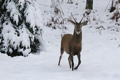 Jelen špicar (natalija2006) Tags: jelenjad jelen špicar reddeer stag wildlife nature narava divjad zima winter slovenia