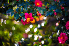In the Afternoon Sunlight (moaan) Tags: kobe hyogo japan jp flower flowering flora camellia sunlight pouringsunlight afternoonsun dof depthoffield bokeh swirlybokeh bokehphotography canon canonphotography canoneos5dsr lomographyzenitpetzval 85mm f22 utata 2017
