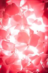 Hydrangea (Frank Boston Photographie) Tags: flower hydrangea petal closeup blossom macro pink flora flowerhead floral fragrant beauty background texture nature gardening botanical simplicity fragility group floralpattern temperateflower bouquet