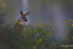 Chipie... (Régis B 31) Tags: chevrette ariège domainedesoiseaux mazères explore midipyrénées nature