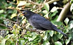 Winter feast. (pstone646) Tags: blackbird bird nature feeding animal wildlife feathers berries tree stodmarsh kent fauna