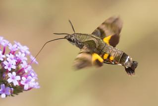 Moth enjoying nectar
