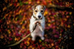 Clap Your Hands (moaan) Tags: kobe hyogo japan jp dog jackrussellterrier kinoko standing clap hands autumn fall autumncolors fallcolors autumnleaves fallenleaves maple mapleleaves japanesemaple momiji dof depthoffield bokeh bokehphotography leica mp leicamp type240 noctilux 50mm f10 leicanoctilux50mmf10