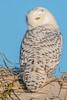 Snowy Owls of New Jersey | 2017 - 2 (RGL_Photography) Tags: birding birds birdsofprey birdwatching buboscandiacus gardenstate jerseyshore mothernature nature newjersey nikonafs600mmf4gedvr nikond500 ornithology owls raptors snowyowl us unitedstates wildlife wildlifephotography beachowl