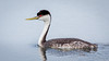 Western Grebe (Eric Gofreed) Tags: california grebe sandiego westerngrebe