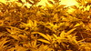20150422_102915 (CannaPsy) Tags: hydroponics flood drain indoor medical cannabis marijuana weed horticulture high pressure sodium hps og