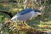 Black-crowned Night-Heron (M. Coppola) Tags: florida hillsborough lettucelakepark blackcrownednightheron nycticoraxnycticorax