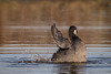Making a Splash (rlb1957) Tags: americancoot fulicaamericana bathing coyotehills regional park eastbayregionalparkdistrict fremont california