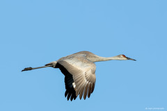 Sand Hill Crane (dpsager) Tags: bird bosquedelapache bosquedelapachenationalwildliferefuge dpsagerphotography newmexico sandhillcrane crane