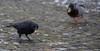 die gehört mir II (wpt1967) Tags: canon100300mm castroprauxel eos6d erinpark rabenvogel ruhrgebiet ruhrpott vogel walnuss winter bird wpt1967