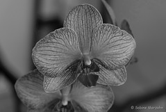 Black and white beauty (Sockenhummel) Tags: orchideen orchidee blüte orchideenblüte schwarzweis sw blackwhite bw mono einfarbig monochrom uni flower blume fuji xt10