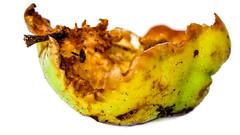 Hen Pecked (Mark Dickens) Tags: apple windfalll food pecked eaten decay macro closeup