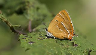 Brown Hairstreak (Thecla betulae).