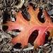 oak leaf, on ground, Swannanoa River shopping center