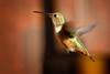 Got Air? (Life of David) Tags: birdinflight california camarillo canon5dmarkiv selasphorussasin usa wildlife allenshummingbird backyard beautiful beauty bird feathers hover hummingbird nature wing wings world100f