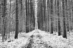 first snow / pinder trail (twurdemann) Tags: autumn blackandwhite canada fall2017 fallen fallenleaves firstsnow forest fujixt1 ground hiawathahighlands hiawathapark kinsmenpark landscape leaves leeseven5 nature niksilverefex northernontario ontario park pindertrail running saultstemarie scenic snow trees weather xf55200mm