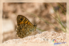 Common butterfly on a rock (domenec_bm) Tags: butterfly papallona mariposa macro micro insect frame telezoom