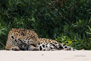 Jaguar (Wild)