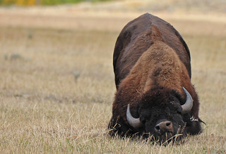 Monday Mood! I think this Bull Bison has Monday Blues - 8545b+