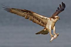 IMG_7754 Osprey with prey (cmsheehyjr) Tags: cmsheehy colemansheehy bird osprey hawk fishhawk urbanna virginia pandionhaliaetus raptor rappahannock