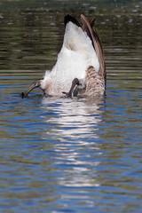 20171115_9723_7D2-400 Bottoms Up! Canada Goose feeding (johnstewartnz) Tags: 100canon unlimitedphotos yabbadabbadoo yabbadabadoo brantacanadensis