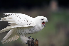 Snowy Owl (Wil James) Tags: owl sonyilca99m2 tamron150600 sony ontario canada outdoor