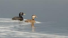 Common scoter - Zwarte zee-eend (Joke.Benschop) Tags: beautifulnorway birds commonscoter jokebenschop nikonafs80400mmf4556gedvr nikond7100 noorwegen norway zwartezeeeend wwwjokebenschopcom