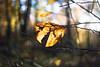 As Time goes by... (ursulamller900) Tags: pentacon2829 autumn autumncolors herbst bokeh leaves blätter buche beech forest wald teutoburgerwald