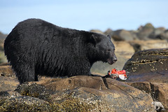 Bottoms Up (PamsWildImages) Tags: blackbear nature naturephotographer wildlife wildlifephotographer salmon fish bc britishcolumbia canada canon pamswildimages pammullins vancouverisland
